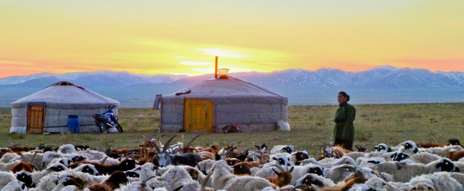 Cattle graze near a traditional ger while waiting for a Projects Abroad volunteer in Mongolia.